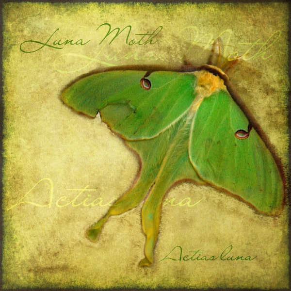 Luna Moth by Heather Hinam