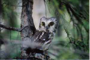 Adult Male Northern Saw-whet Owl