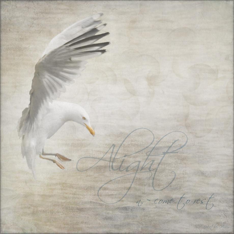 Alight - Herring Gull Landing
