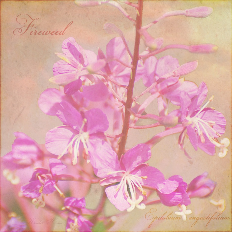 Portrait of Fireweed by Heather Hinam
