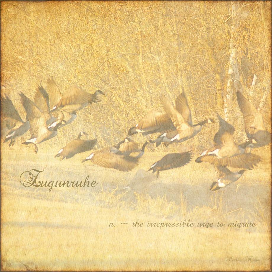 Zugunruhe - migratory restlessness