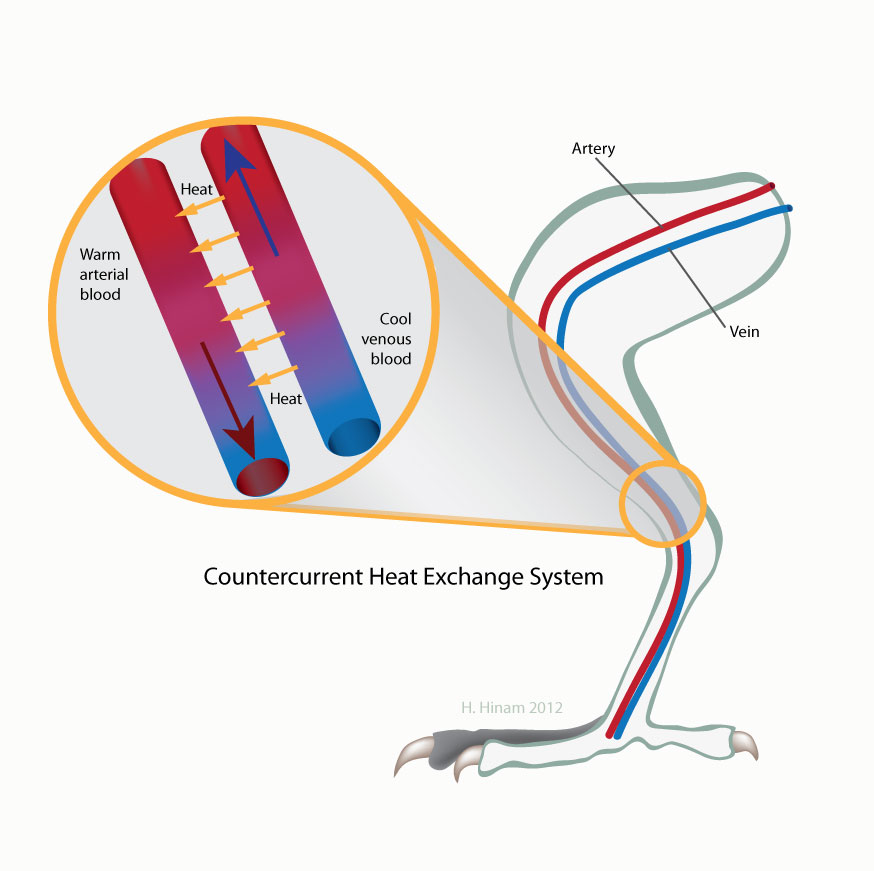 Countercurrent Heat Exchange System in a bird's leg. by Heather Hinam