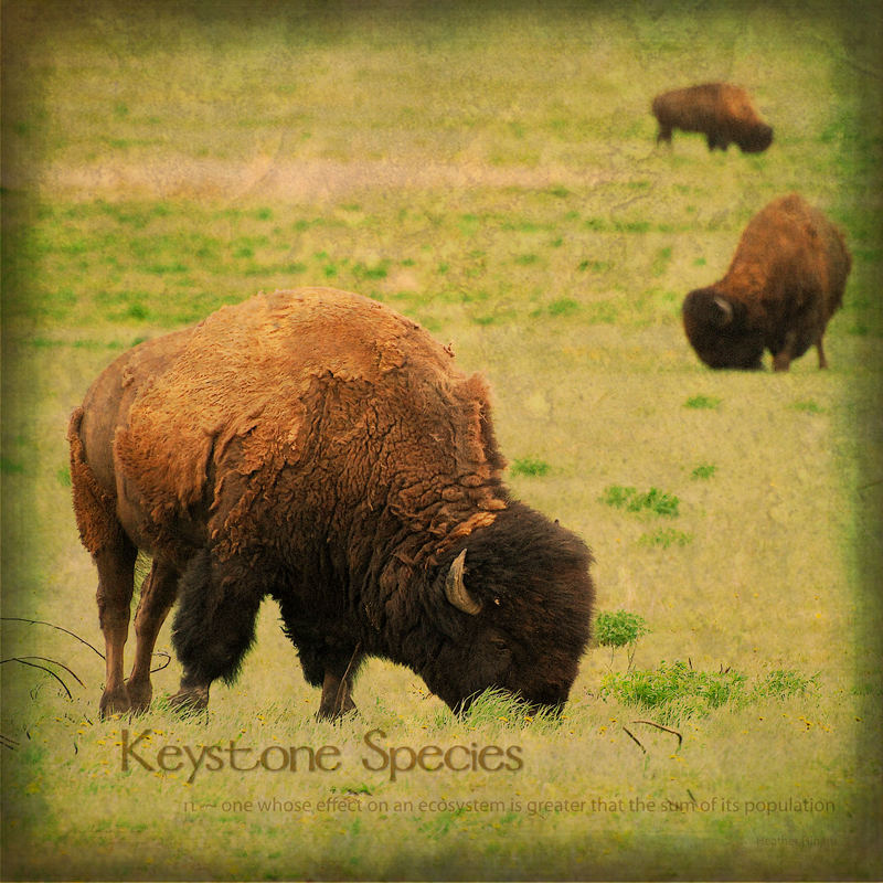 Plains Bison and Keystone Species by Heather Hinam