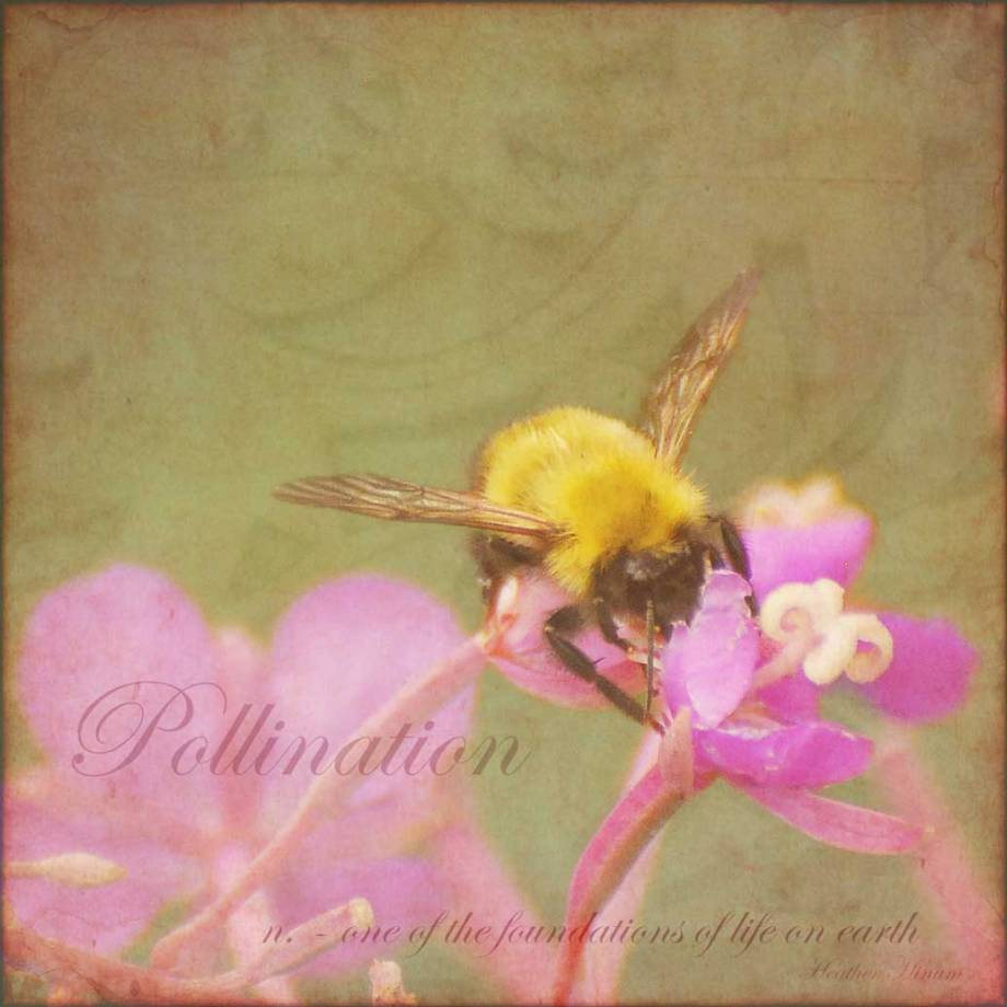 Bumblebee pollinating fireweed by Heather Hinam